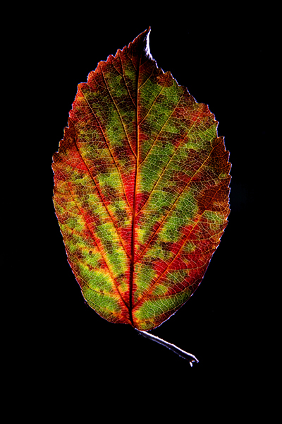30-09-09 leaf 13-400px