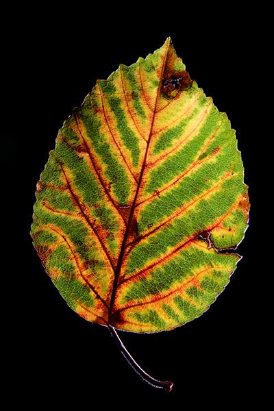 30-09-09 leaf 18-400px