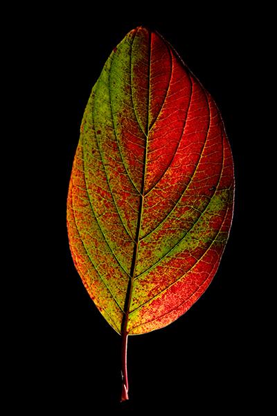 leaf B-400px