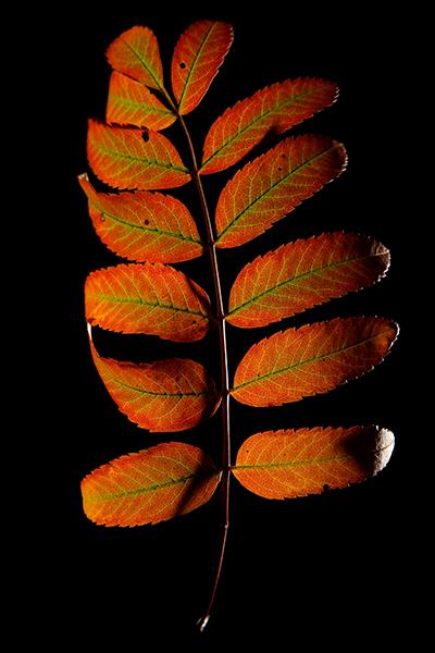 leaf G-400px