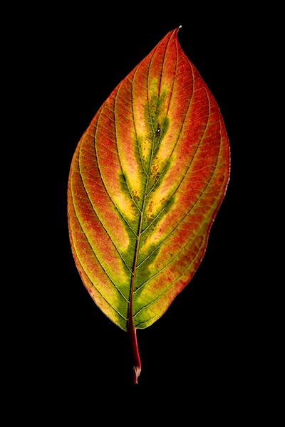 leaf H-400px