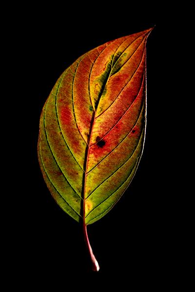 leaf W-400px